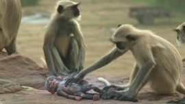 Monkeys show kindness and empathy, grieve over the 'death' of a baby replica