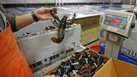 China sets record for US lobster imports