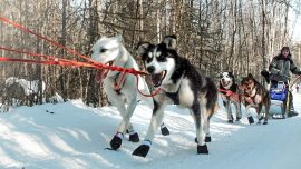 World Famous Iditarod Race Kicks Off