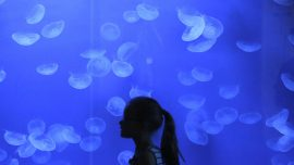 Japanese aquarium holds world's largest variety of jellyfish