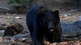 Black Bear Mauls Woman, Kills Dog