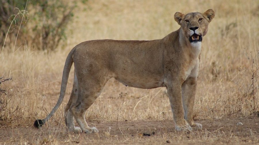 Lion Fatally Mauls Woman At Game Lodge in South Africa