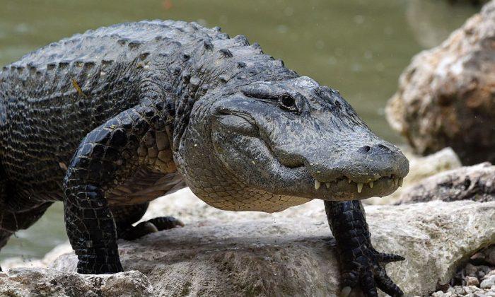 Alligator Blocks Runway at Air Force Base in Florida