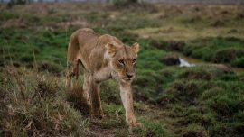 Young Lion Narrowly Escapes a Herd of African Buffalo