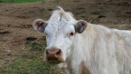 New York Calf Outsmarts Farm to Avoid Going to Slaughterhouse