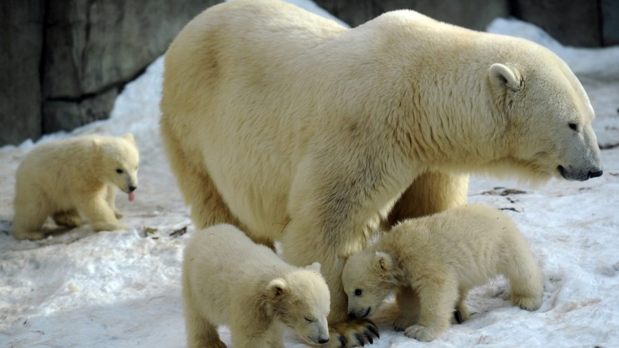 Russia Declares Emergency as Over 50 Polar Bears Invade Town and 'Chase Terrified Residents'