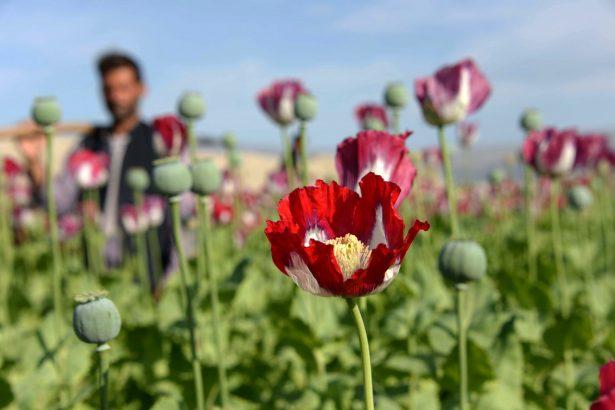 farmer stands in poppy field