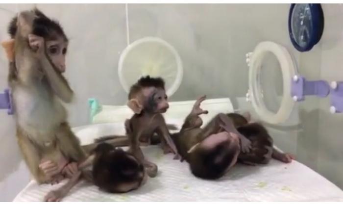 Five cloned macaque monkeys with genetic sleep disorders