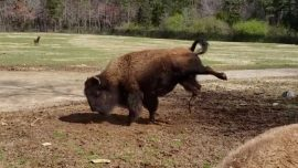 Video Shows Bison Dancing With Joy at Start of Spring