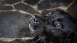 70-Pound Dog Likely Caused Plane Crash, Pilot's Death: Report