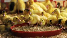 Woman Herds 6,000 Ducks by Herself