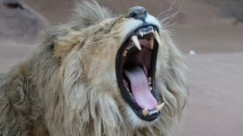 Man Killed by His Own Captive Lions in South Africa