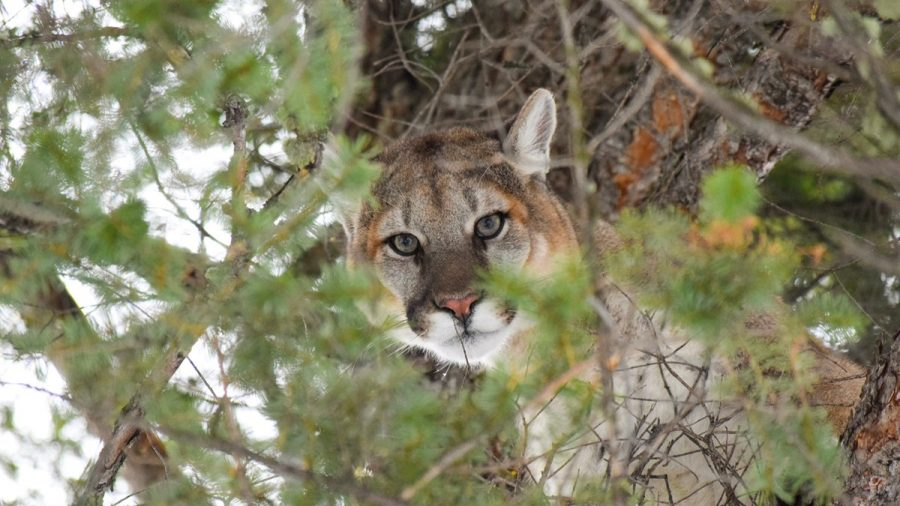 Roaming Mountain Lion Caught in Downtown San Francisco