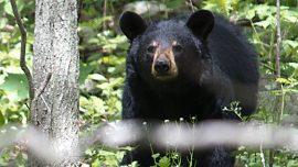 Boisterous Bear Breaks Into Middle School