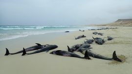Dozens of Dolphins Wash up Dead on Ghana Beaches