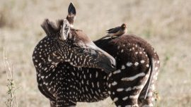 Zebra Foal With a Rare Polka-Dotted Pattern Spotted in Kenya