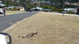 Community in Shock, Man Arrested After 20 Kangaroos Killed in Apparent Hit-and-Run Spree