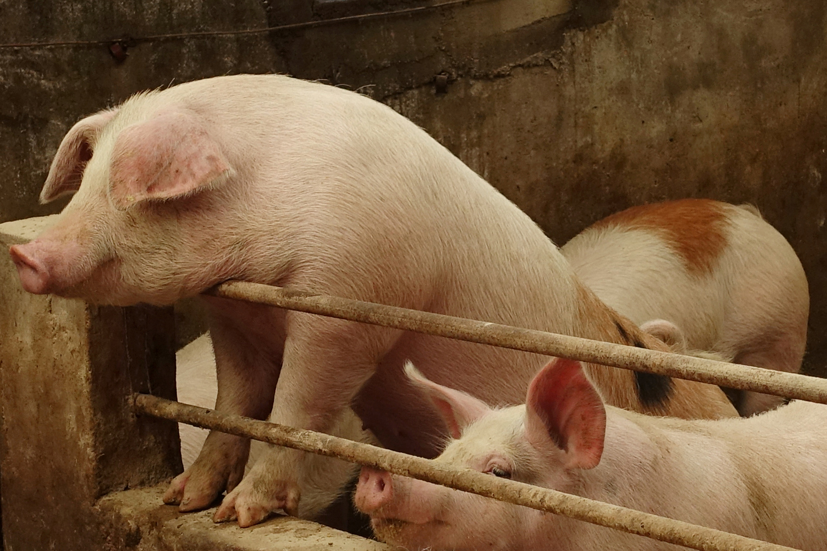 pigs china