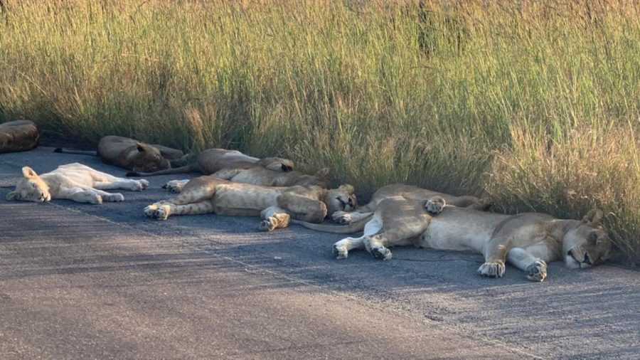 With South Africa in Lockdown, the Lions Are Taking It Very Easy
