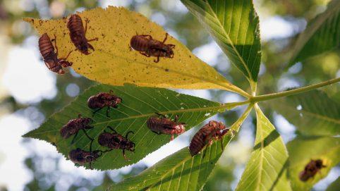 Billions of Brood X Cicadas Emerging After 17 Years