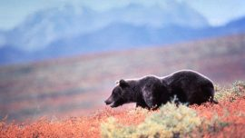 Park IDs Hunter Killed by Grizzly Bear in Alaska as Ohio Man
