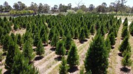 Christmas Tree Farms Sell out in Australia