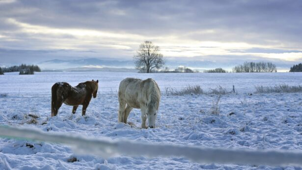 Two horses in the freshly fallen snow