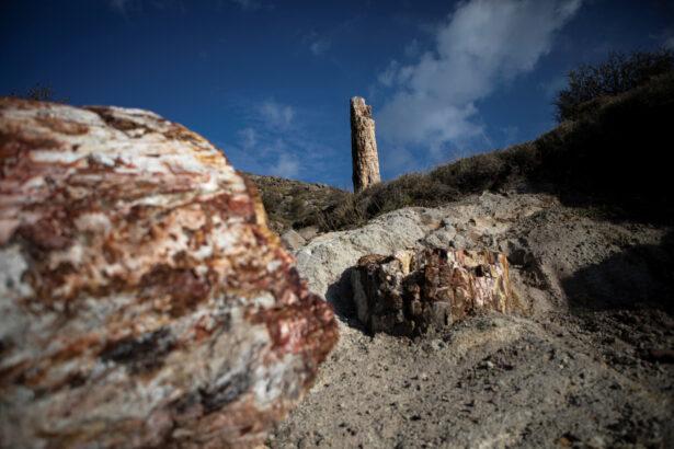 fossilised-trees