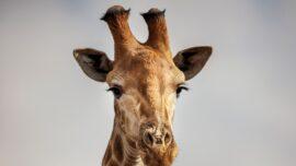 Scientists Stunned to Find Dwarf Giraffes