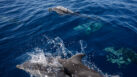 2,000 Common Dolphins Spotted Off the Southern California Coast