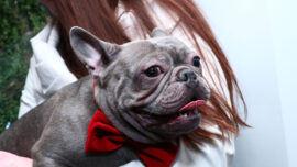 French Bulldogs Become 2nd Most Popular Dog Breed