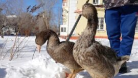 Russian Man Trains Pet Geese