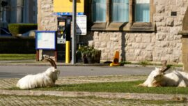 Mountain Goats Infest Town in Northern Wales