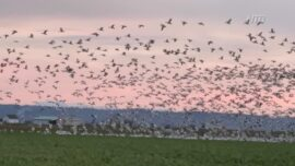 Massive Yearly Bird Migration From Washington