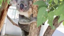 Local Develops Prosthetic Foot for Koala
