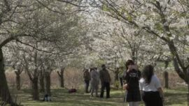 Cherry Blossoms in Chicago Park Charm Visitors