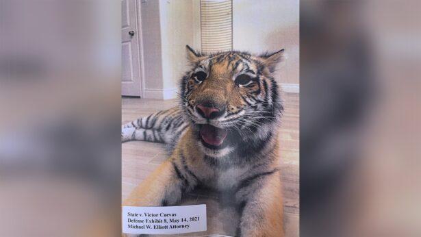 missing tiger