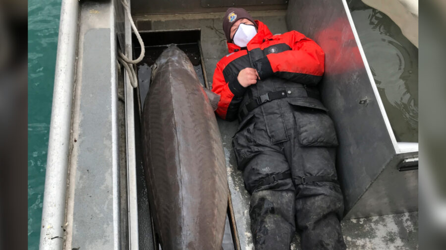240-Pound Fish, Age 100, Caught in Detroit River