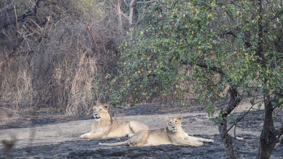 Two Lions Test Positive for COVID-19 at Indian Safari Park