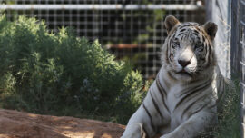 Feds Seize 68 Lions, Tigers and Other Animals From 'Tiger King Park' in Oklahoma