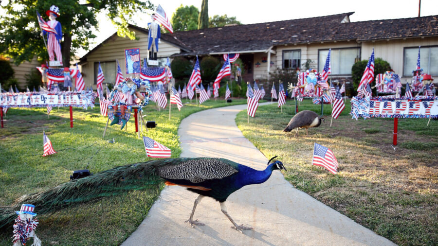 Shrieking Peacocks Roam the Streets in LA County, Damaging Vehicles. Now Officials Want to Ban Residents From Feeding Them