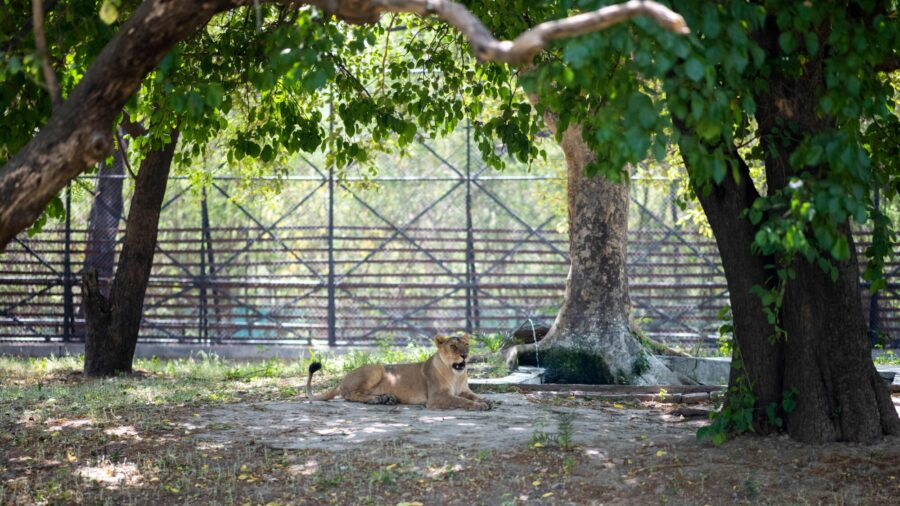 Lioness Dies From COVID-19 in Indian Zoo