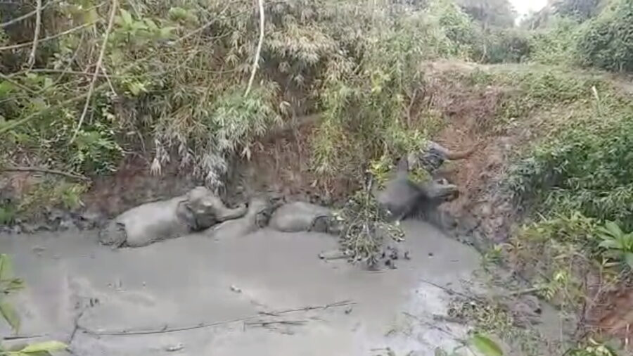 Elephants Escape Burma Mud Pit to Cheers From Villagers Who Helped