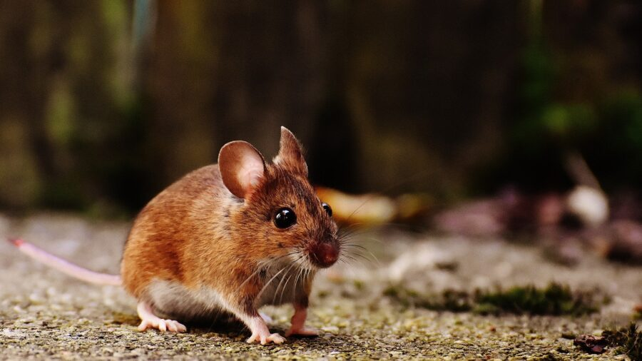 Michigan Reports First Human Case of Rodent-Borne Hantavirus