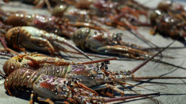 1 Dead, 1 Injured in Florida's Two-Day Lobster Miniseason