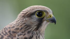 Heat Wave Forces Baby Hawks to Flee Nests