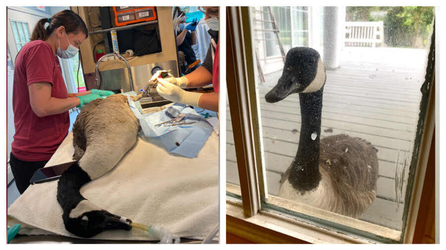 Loyal Goose Woefully Watches Injured Mate Undergo Surgery Through Window of Wildlife Hospital