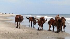 'Honorary Grandmother' of North Carolina Wild Horses Dies