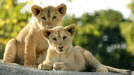 Dallas Zoo Lions Celebrate 1st Birthday