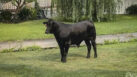 Bull That Escaped Long Island Farm Captured After 2 Months